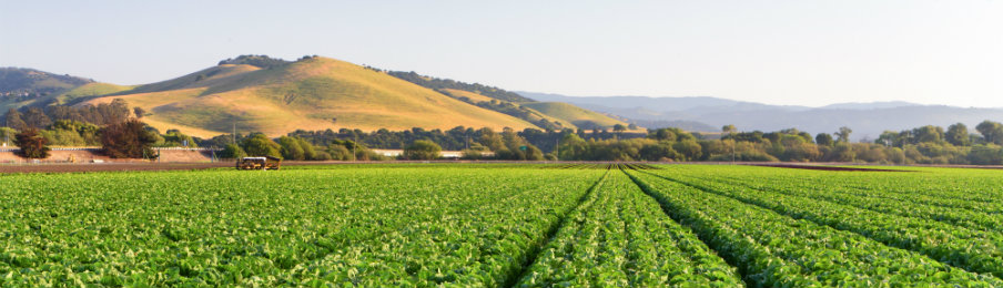 lovely view of Lettuce Field in Salinas Valley, California