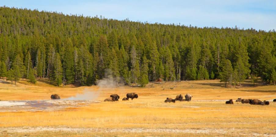 bison yellowstone national park wyoming
