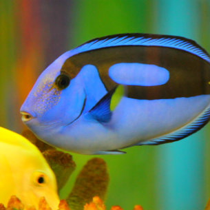 Blue Tang at Waikiki Aquarium