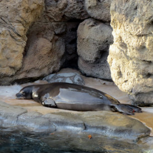 monk seal at waikiki aquarium