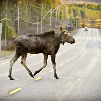 wild moose crossing the road